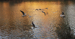 Birds seagul flying. The bird flying over the river Royalty Free Stock Photography