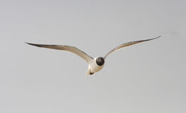 Birds. Seagull flying over Galveston Bay late afternoon Stock Photo