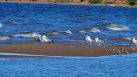 Birds of the seagull, waders and a small Charadrius bird are sitting on a small sandy island of a large lake. Waves stock video footage