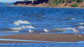 Birds of the seagull, waders and a small Charadrius bird are sitting on a small sandy island of a large lake. Waves stock video