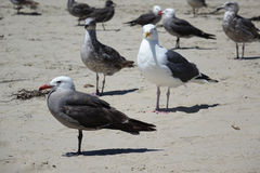 Birds - Seagulls Congregate on California Beach. Do they know something we don`t know? The seagulls were standing in rows looking out to sea on a southern stock photo