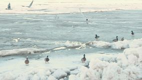 Birds seagulls and ducks on the ice river. stock video footage
