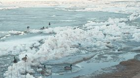 Birds seagulls and ducks on the ice river beach. stock footage