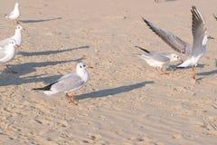 Birds seagulls eat bread on the sandy dune beach. royalty free stock photography