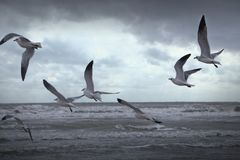 Birds Seagulls Flying in a Lakeshore Beach. In Black and White Stock Images