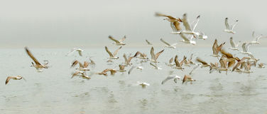 Birds seagulls flying over the water. Royalty Free Stock Image