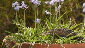 Birds searching among the bluebells stock video footage
