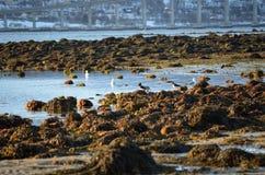 Birds on seaweed shore Stock Photography