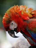 Birds seen in Kuala Lumpur Bird Park. Colourful Parrot seen in bird park in Kuala Lumpur, November 30, 2017 Stock Images
