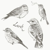 Birds set. Larks Royalty Free Stock Photos