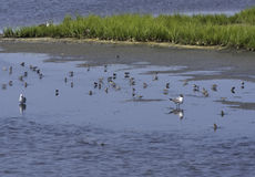Birds in Shallow Water. Birds in the shallow waters of the Salt Marshes Royalty Free Stock Photos