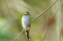 Birds: shrubbery side Yellow-browed bunting Stock Image