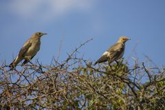 Birds on shrubs spotted in the wilderness. During a game drive in Nairobi National Park stock photography