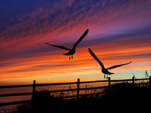Birds Silhouette Sunset. Birds silhouette in front of Oregon coast sunset Stock Photo