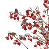 Birds sit on branches. Birds on branches eat berries Stock Photography