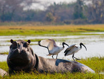 Birds are sitting on the back of a hippopotamus. Botswana. Okavango Delta. Stock Images