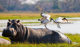 Birds are sitting on the back of a hippopotamus. Botswana. Okavango Delta. Stock Photos