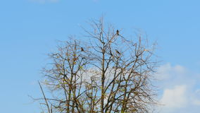 Birds sitting on dry tree, branches swaying in the wind stock footage