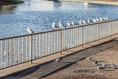 Birds sitting on a fence and flying by the river Royalty Free Stock Images
