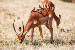 Birds sitting on impala antelope walking the grass landscape, Africa Stock Photo