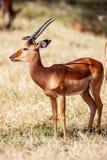 Birds sitting on impala antelope walking the grass landscape, Africa Stock Photography