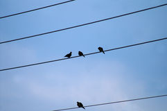 Birds Sitting on Powerlines Royalty Free Stock Image
