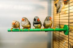 Birds sitting on a stick in pet shop Royalty Free Stock Image