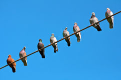 Birds sitting on the wire. Pigeons on the wire, the blue sky Royalty Free Stock Photography