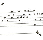 Birds sitting on wires. Some birds sitting on wires Stock Photo