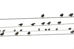 Birds sitting on wires. Some birds sitting on wires Stock Image