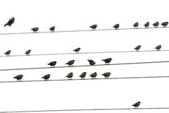 Birds sitting on wires Stock Photography