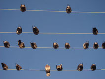Birds are sitting on wires Stock Images