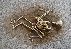 A birds skeleton Stock Photography