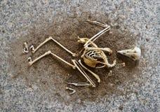 A birds skeleton Stock Photography