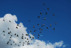 Birds in the sky. Birds flying in the sky Royalty Free Stock Image