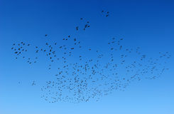 Birds in the Sky Stock Images