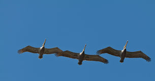 Birds in the Sky Royalty Free Stock Photos