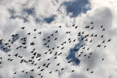 Birds in the sky. A lot of birds in the sky Royalty Free Stock Photography
