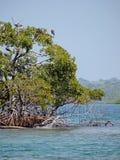 Birds in mangrove Royalty Free Stock Photo