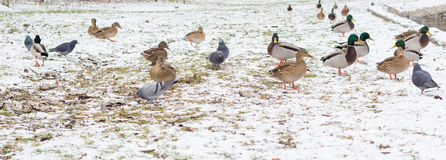Birds on the snow Royalty Free Stock Photography