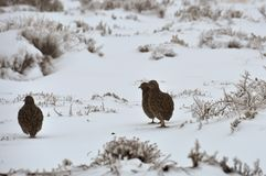 Birds in the snow Royalty Free Stock Images