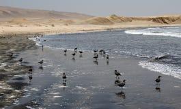 Birds. Some birds in the coast of peru Stock Photo