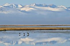 Birds on Son-Kul `last lake` early in the morning,central Tien Shan mountains,Kyrgyzstan,Central Asia. Birds on Son-Kul `last lake` early in the morning,central royalty free stock images