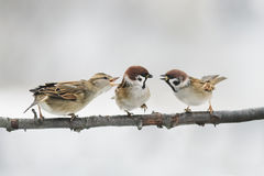 Birds Sparrow argue on the branch flapping the wings. Three birds Sparrow argue on the branch flapping the wings stock images