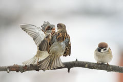 Birds Sparrow argue on the branch flapping the wings. Three birds Sparrow argue on the branch flapping the wings royalty free stock photo
