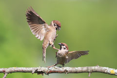 Birds sparrows fighting on a tree branch in summer. Two birds sparrows fighting on a tree branch in summer Royalty Free Stock Photos