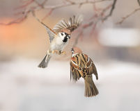 Birds sparrows flitting in the air and arguing in the Park Stock Images