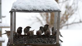 Birds sparrows pecking seeds in the winter. stock footage