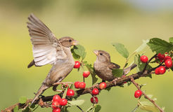 Birds sparrows sitting on a branch with berries cherry and flap their wings. Two birds sparrows sitting on a branch with berries cherry and flap their wings Royalty Free Stock Photos