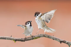 Birds sparrows Royalty Free Stock Image